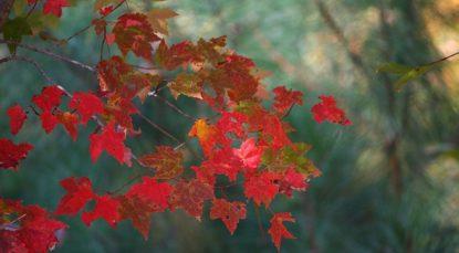 maple-leaves-62759_640